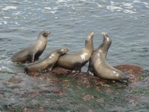 Harbor Seal Tableau
