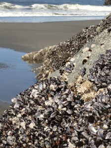 Mussels exposed at low tide